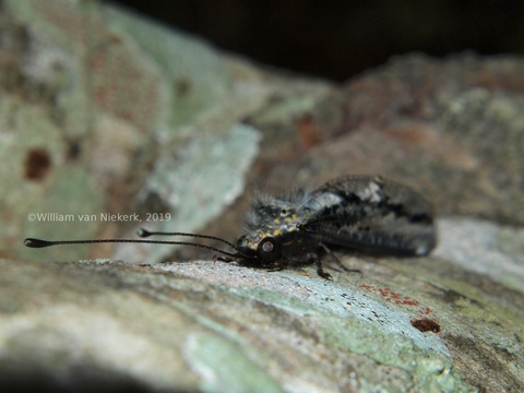 An owlfly, Allocormodes, at Mutinondo, Zambia