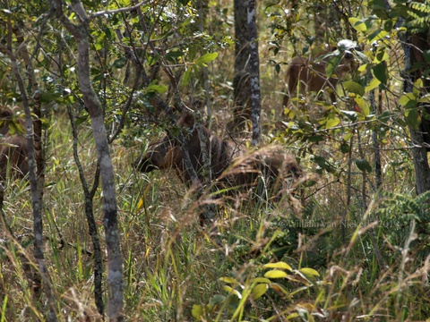 Warthogs (Phacochoerus africanus) foraging in the undergrowth at the Mutinondo Wilderness Area, Zambia
