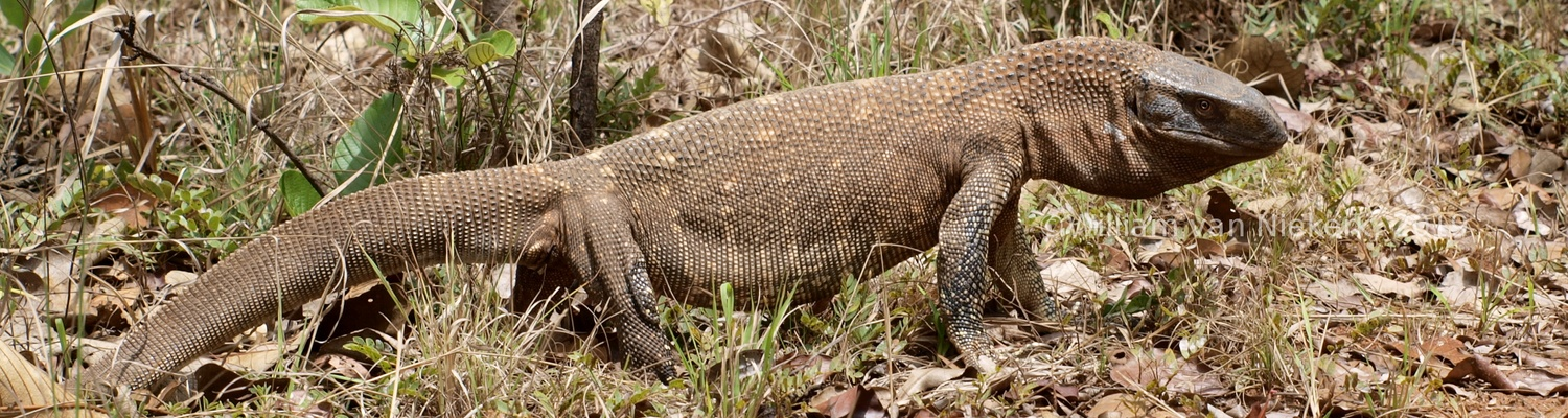 Varanus albigularis, the white-throated monitor, at Mutinondo Wilderness, Zambia