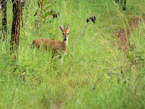 Common duiker (Sylvicapra grimmia) crossing paths in the Mutinondo Wilderness Area, Zambia