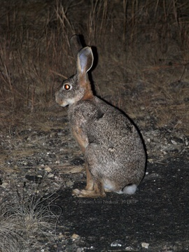 Scrub Hare, Lepus victoriae, at Mutinondo Wilderness in Zambia