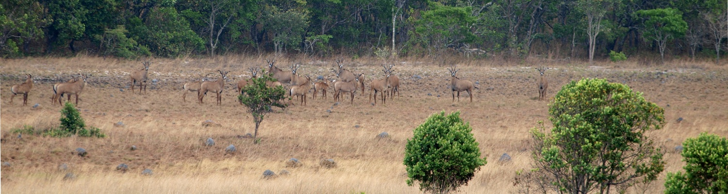 Roan Antelope, Zambia, Mutinondo Wilderness, Wildlife, Mammals, Walking, Hiking
