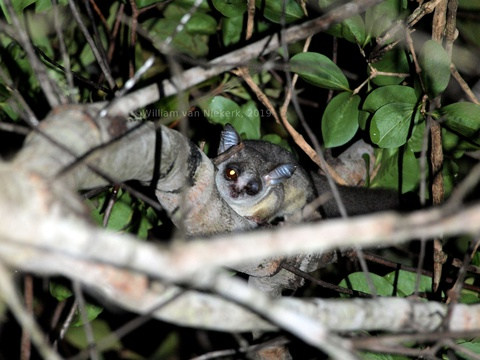 Take a torch if you're camping, and look out for lesser Bush-Baby (Galago moholi) in the trees in the Mutinondo Wilderness' campsites.