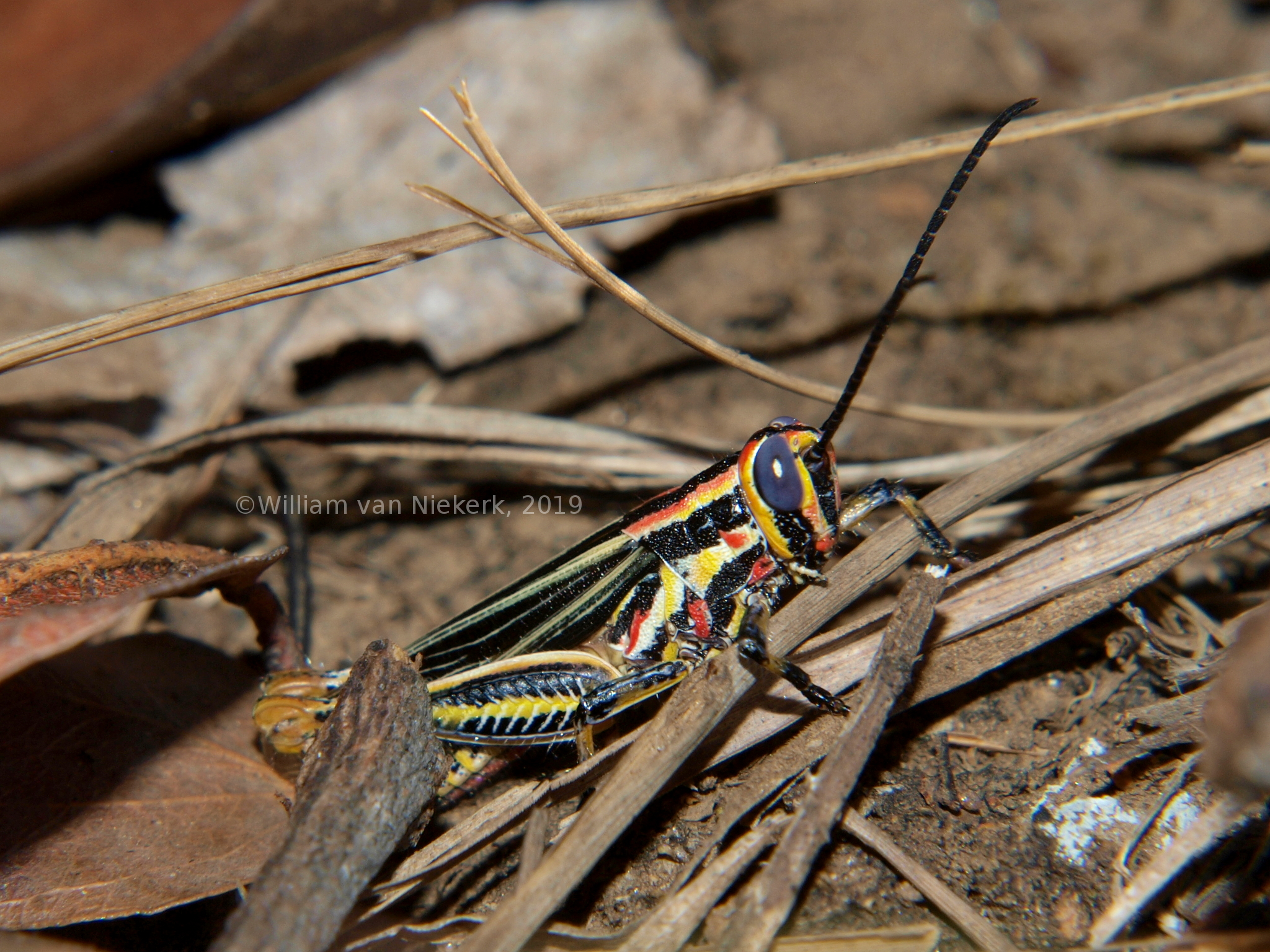 Grasshoppers and Crickets (Order Orthoptera) of Mutinondo